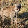 Hyena and Impala bones