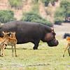 Hippo and Impala