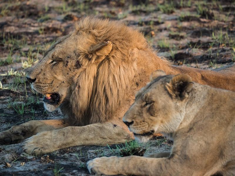 Lions at Nxabega
