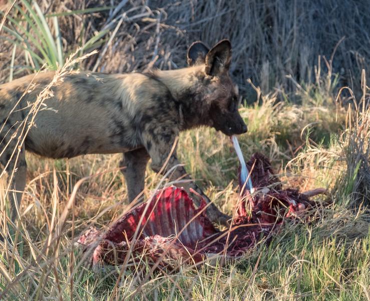 Wild Dog and prey