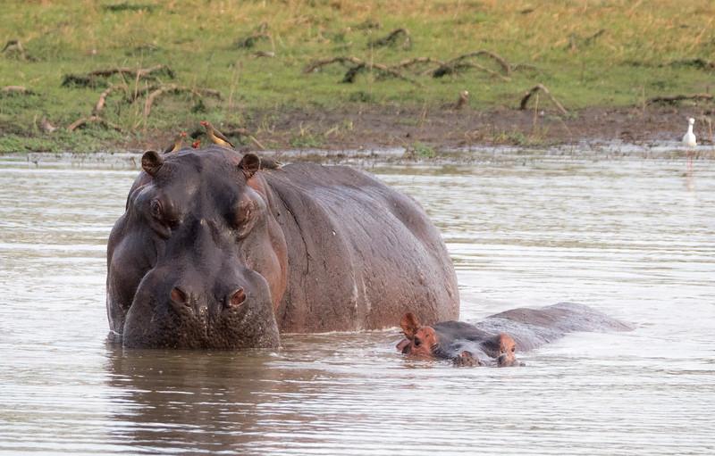 Hippo at waterhole