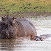 Hippo at waterhole
