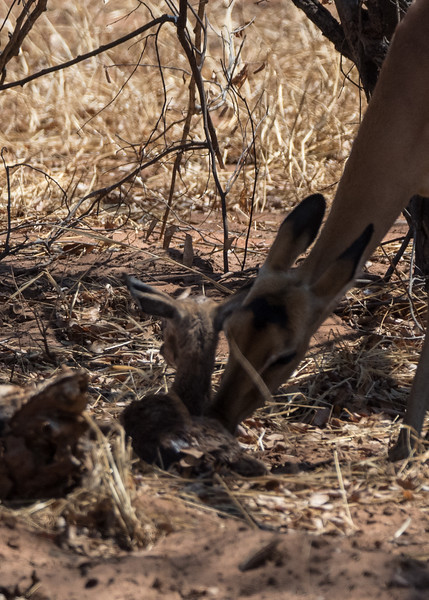 Impala Baby