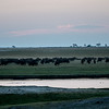 Buffalo Herd at Dusk
