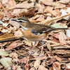 Bearded Scrub Robin at Victoria Falls