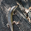 A Skink at Livingstone Island, Victoria Falls