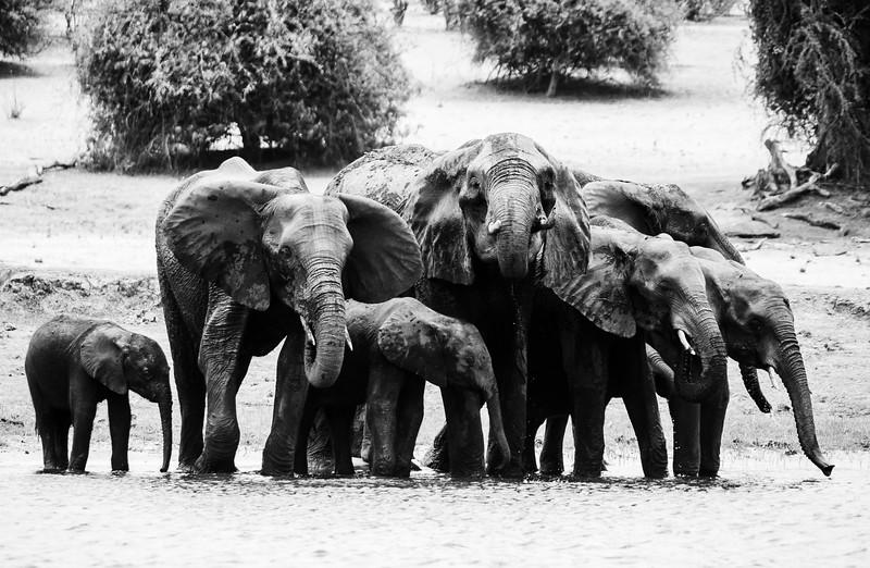 Elephants at Chobe NP