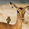 Red-billed Oxpecker on and Impala