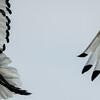 Sacred Ibis