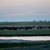 Buffalo Herd at Dusk