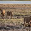 Lions at Chobe NP