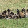 Sleepy Wild Dog Pups