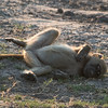 Sleeping Baboon