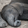 Sleeping Elephant Baby