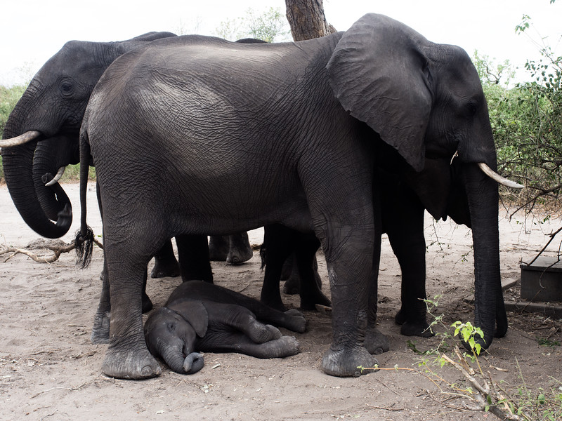 Mom Elephant providing shade for Jr.