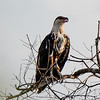 African Fish Eagle (Imm.)