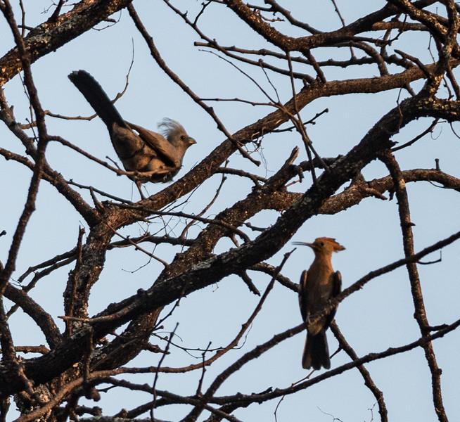 African Go-away Bird and African Hoopoe