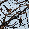 African Go-away Bird and African Hoopoe