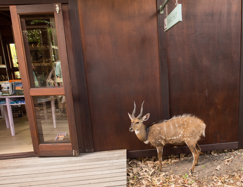 A friendly Bushbuck at Xaranna Camp