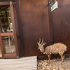 A friendly Bushbuck at Xaranna Camp