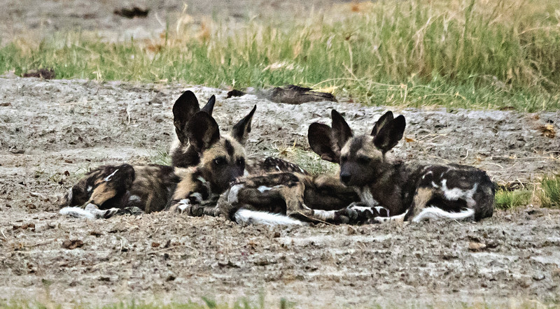 Wild Dog Pups take a rest