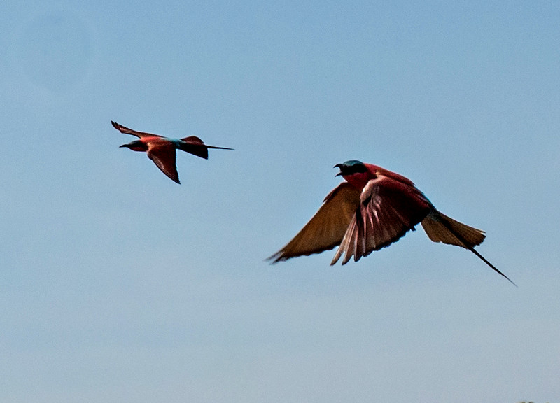 Southern Carmine Bee-eaters following us!