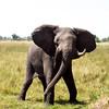 An angry Elephant