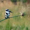 Pied Kingfisher on Papyrus