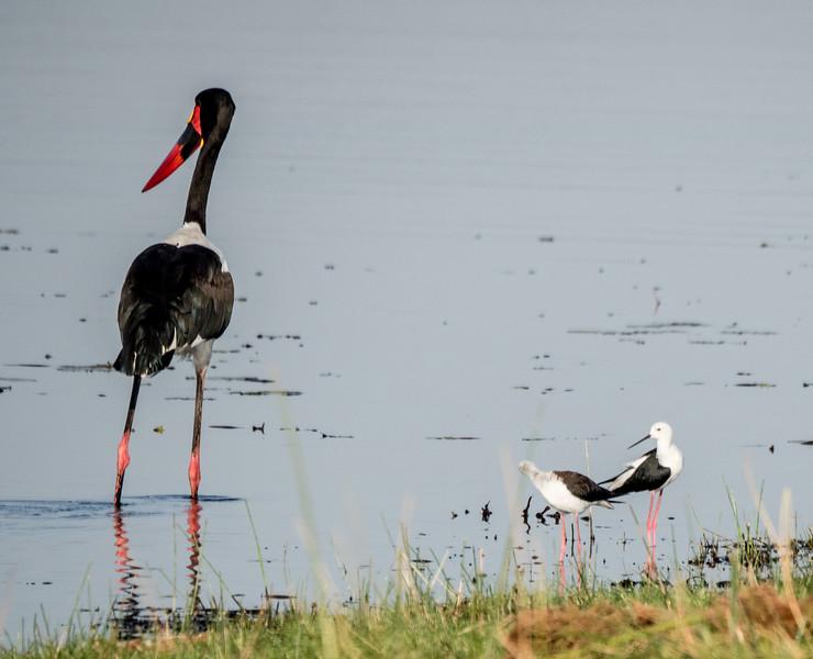 Saddle-billed Stork and Black-winged Stilt