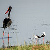 Saddle-billed Stork and Black-winged Stilt