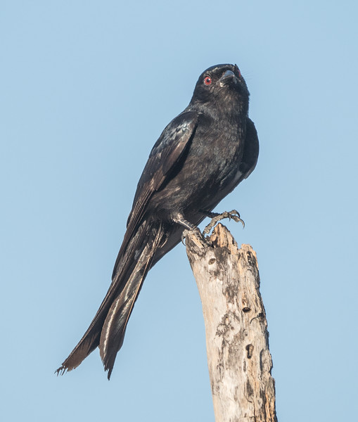 Forked-tailed Drongo