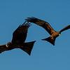 Yellow-billed Kites