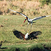 Saddle-billed Stork, African Fish Eagle