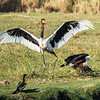Saddle-billed  Stork and  African Fish Eagle