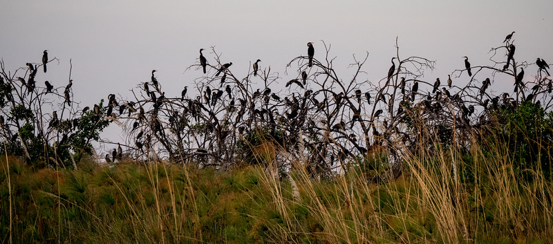 Roosting White-breasted Cormorants