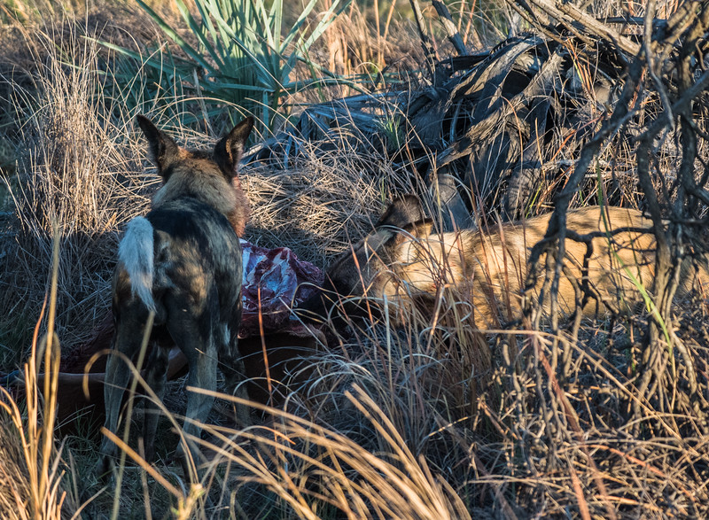 Wild  Dogs and their kill