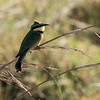 Little Bee-eater ?