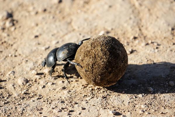Dung Beetle