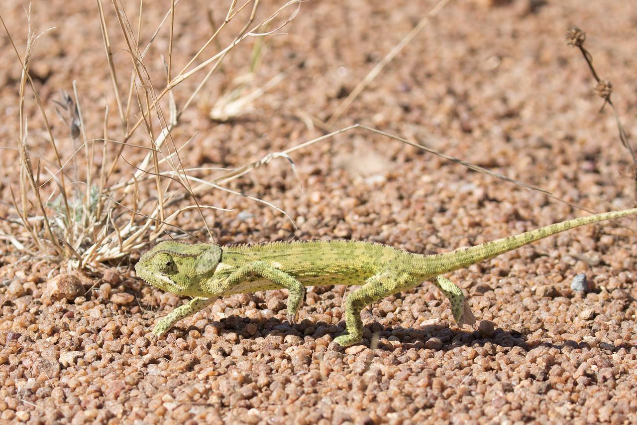 Flab-necked Kameleon