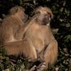 Kinda Baboons