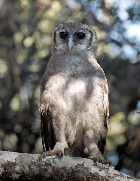 Verreaux's (Giant) Eagle-Owl