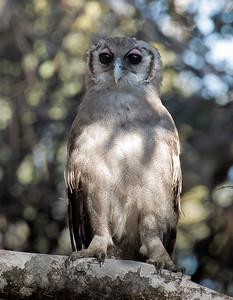 Verreaux's (Giant) Eagle-Owl