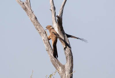 Brown snake eagle balances in tree while looking for grubs.