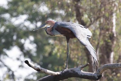 Goliath Heron having a wing-stretch.