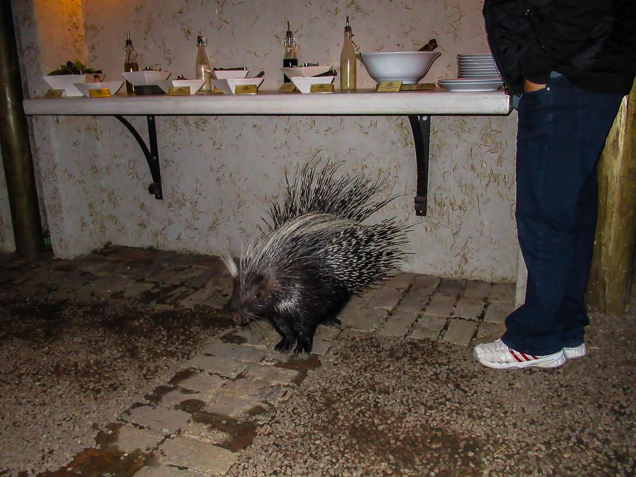 Sadie, the resident porcupine joined us for dinner nightly. :)