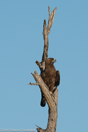 Aquila wahlbergi,  Wahlberg's eagle