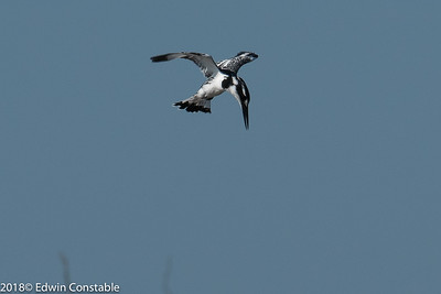 Ceryle rudis, Pied kingfisher