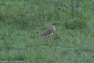 Vanellus coronatus, Crowned lapwing, Crowned plover,