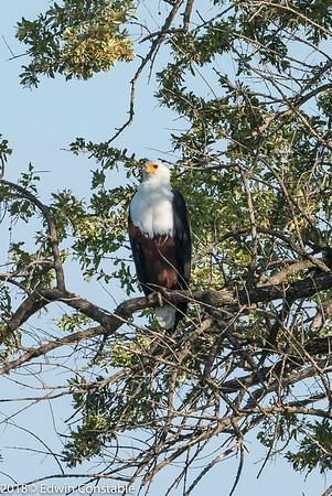 Haliaeetus vocifer, African fish eagle,