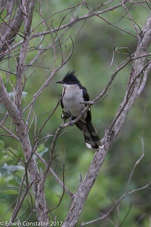 Oxylophus jacobinus, Jacobin Cuckoo